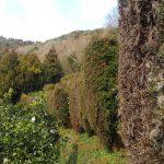 半島の自然環境で柑橘栽培をするには防風垣は欠かせません!